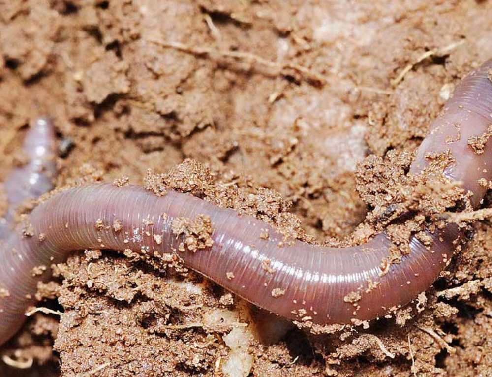 Vermicomposting – Your Garden Loves Worms!